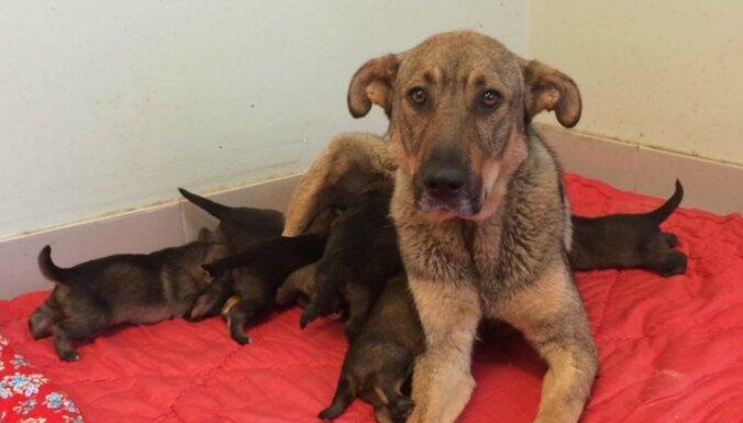 Cilvēki interesējas par Siguldā pamestajiem kucēniem, bet suņiem jāpaaugas