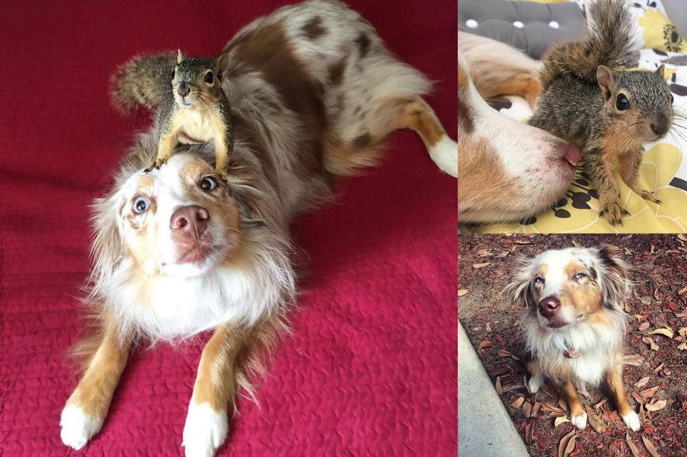 Знакомься: Калли и Стюарт, австралийская овчарка и белка — лучшие друзья!