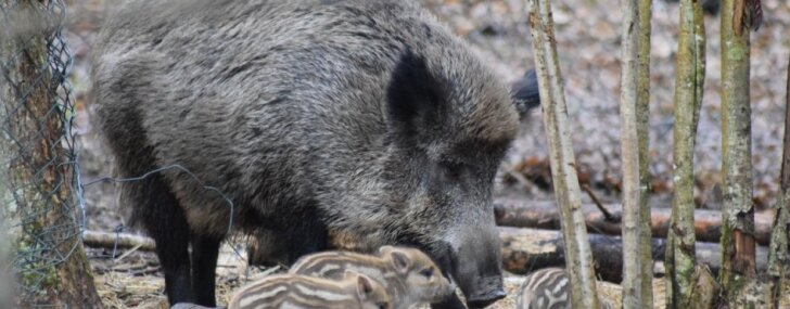 Līgatnes dabas taku mežacūkai Magonei dzimuši pieci neganti sivēntiņi