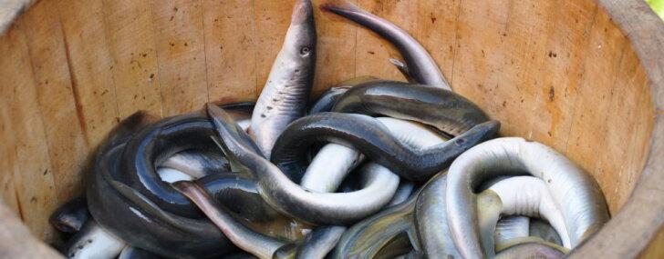 Novadu kulinārais mantojums: Carnikavas nēģi – kur tos pirkt un kā pagatavot