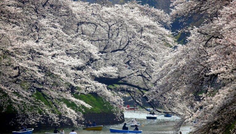 Foto: Japāņi bauda sakuru kupenu valdzinājumu Čidorigafuči parkā