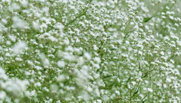 Kaprīzā skaistule no vecmāmiņas dārza – plīvurpuķe