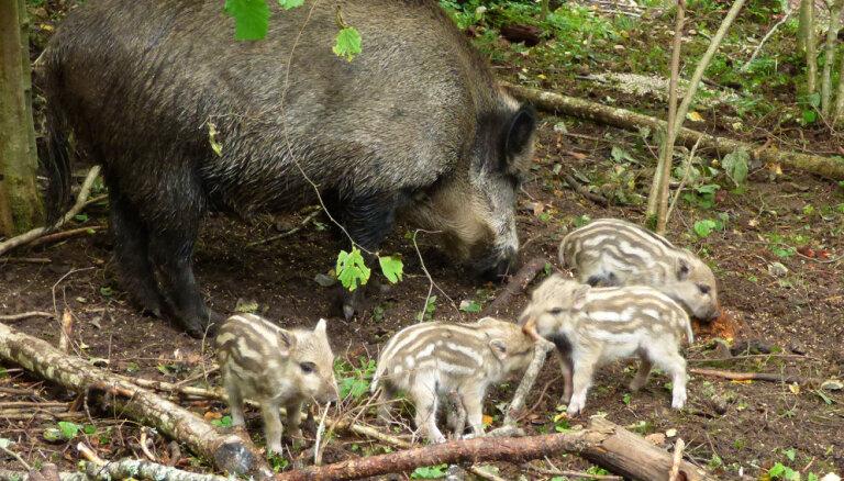 Mežacūka Magone rudenī pārsteidz Līgatnes dabas taku darbiniekus, dzemdējot četrus sivēnus