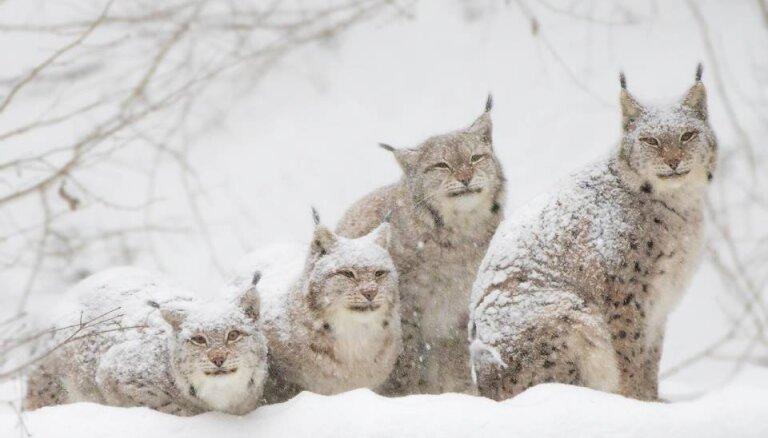 Līgatnes dabas takās aicina iepazīt Latvijas lielāko kaķi – lūsi