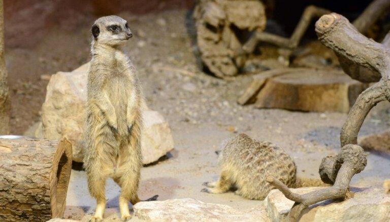 Vērot surikatus arī ziemā – Rīgas zoodārzā atklāta terārija jaunā ekspozīcija