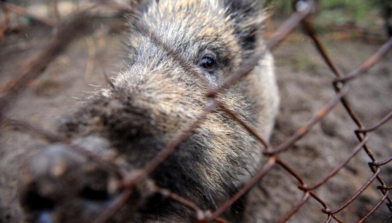 Āfrikas cūku mēris šonedēļ konstatēts 15 mežacūkām
