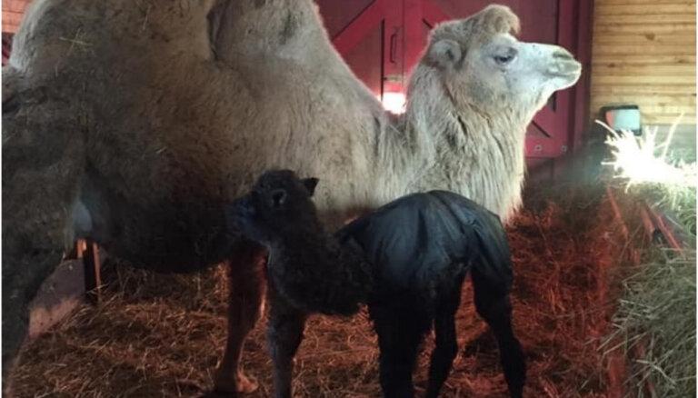 Kamieļu parka 'Rakši' jaundzimušais kamielēns nosaukts par Abulu