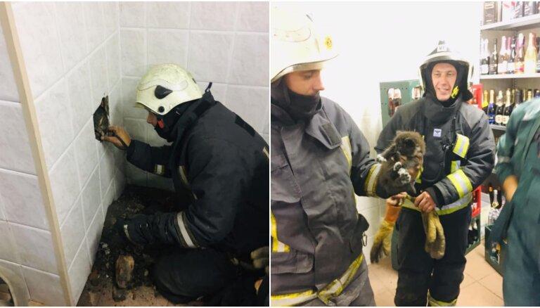 Ugunsdzēsēji Ventspilī izglābj ventilācijas šahtā iesprūdušu kaķēnu