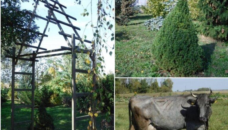 Zaļā oāze ar tūkstošiem augu un zilajām govīm. Saimniecības 'Vilki' izlolotais dendrārijs
