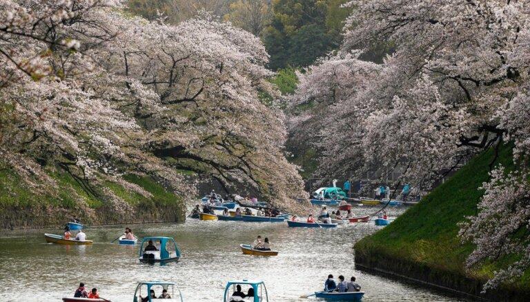 Foto: Japānā un Vašingtonā sācies ķiršu ziedēšanas laiks; tie zied rekordagri