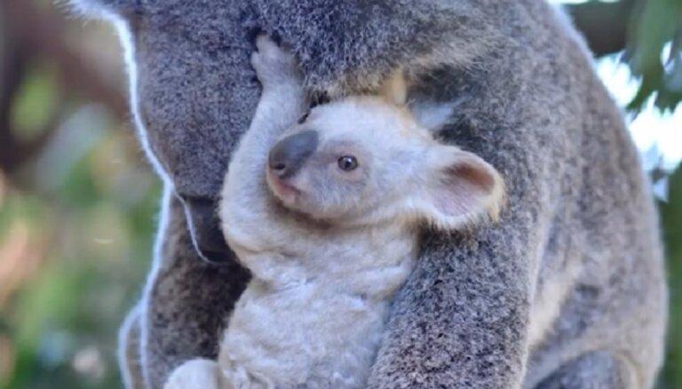 Austrālijā piedzimis neparasts koalu lācēns ar baltu kažociņu