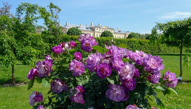 Foto: Rundāles pils parkā majestātiski zied rozes