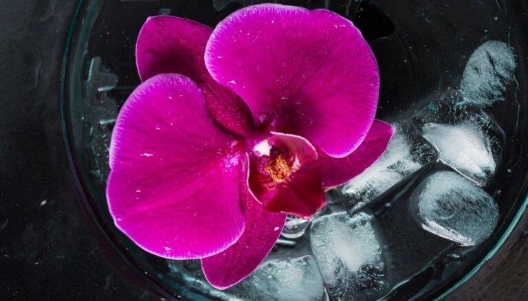 Orhideju 'laistīšana' ar ledus gabaliņiem: metode, kuru labāk neizmantot
