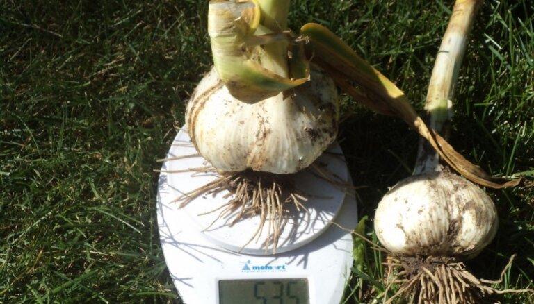 Gandrīz kilogramu smagi milzeņi: audzētājas padomi ziloņķiploku audzēšanā un stādīšanā