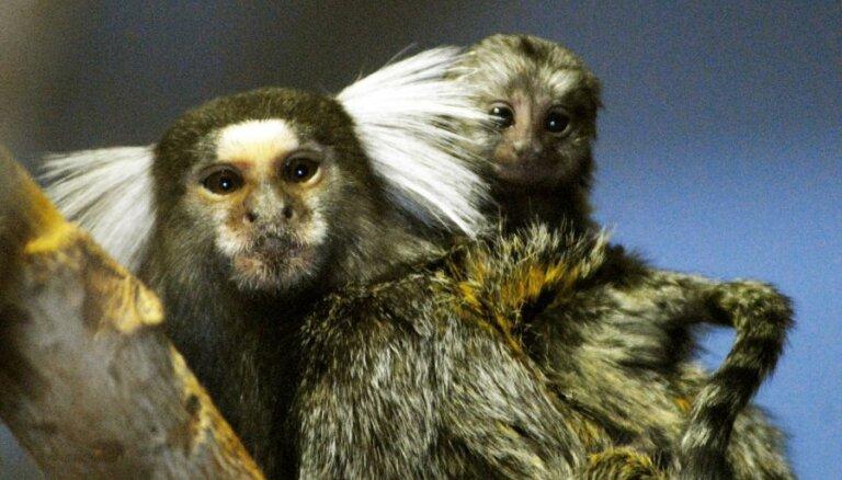 Rīgas Zoodārza pērtiķiem piedzimuši mundri mazuļi