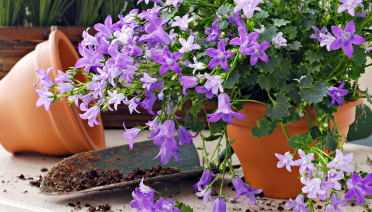Lillā maģija jeb Kā izveidot puķu dārzu violetos toņos