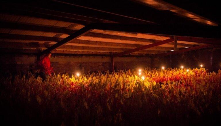 Foto: Kā sveču gaismā Anglijā tiek novākti rabarberi