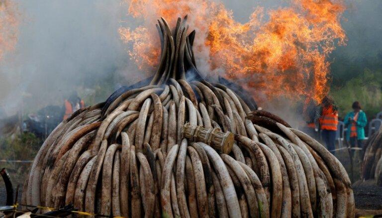 Foto: Kenijā sadeg 105 tonnas ziloņkaula