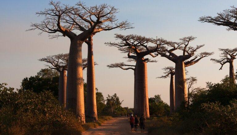 Iespaidīgā 'Baobabu avēnija' Madagaskarā, kurai draud izmiršana