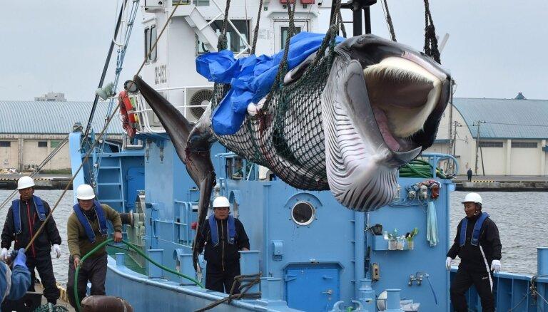 Foto: Japāņi dižojas ar pirmajiem šogad nogalētajiem vaļiem