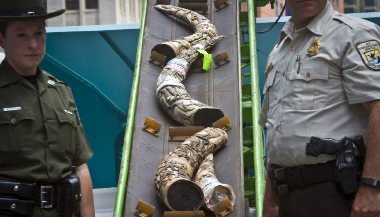Taimskvērā iznīcina tonnu ziloņkaula izstrādājumu