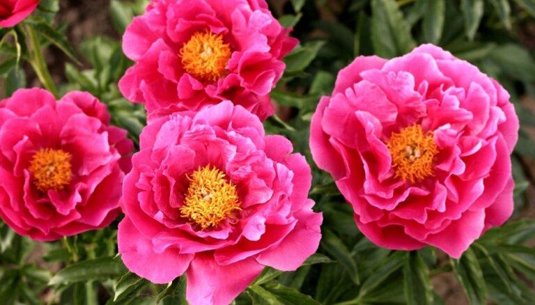 Dārza skaistules peonijas: padomi un skaistākās šķirnes