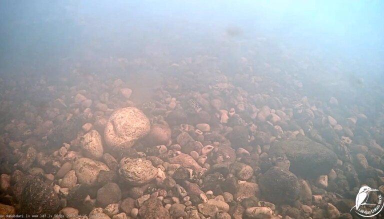 Dabas fonds uzsācis zemūdens tiešraidi no nēģu nārsta