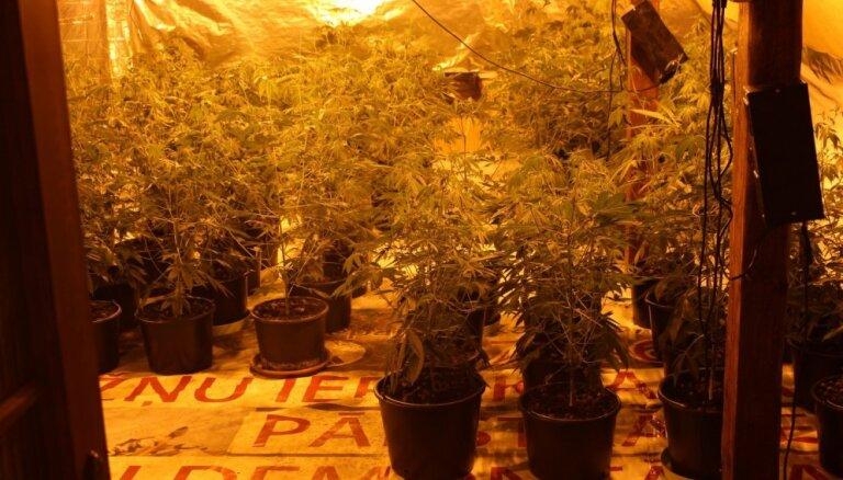 VID Lietuvas pierobežā atrod marihuānas audzētavu