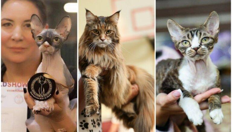 """Ляля, Зорро и Зури - самые успешные """"латыши"""" на международной выставке кошек в Голландии"""