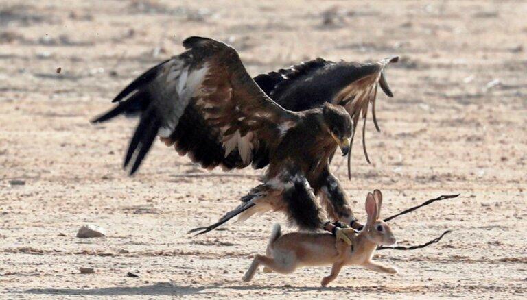 Foto: Ērgļi un piekūni demonstrē medību prasmes Ēģiptes tuksnesī