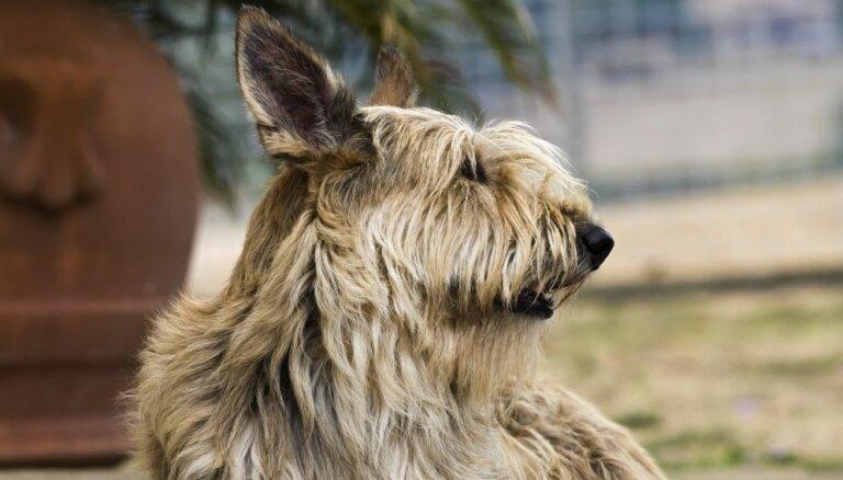 Viena no vecākajām suņu šķirnēm Francijā – skaļais un retais Pikardijas aitusuns
