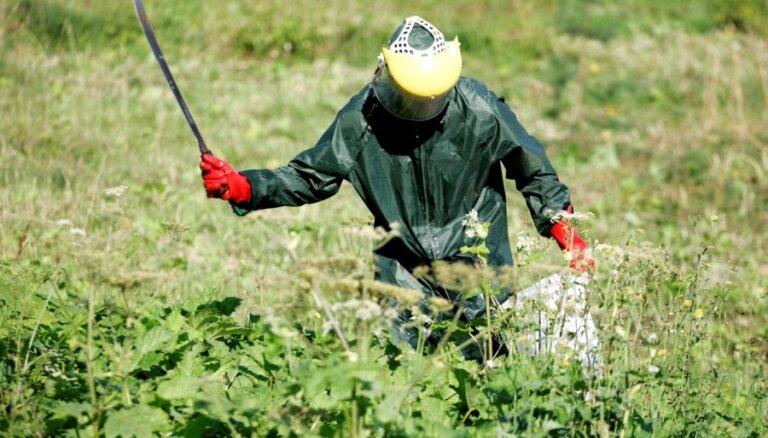 Война с борщевиком: чиновники не сдаются и требуют 5 млн. латов