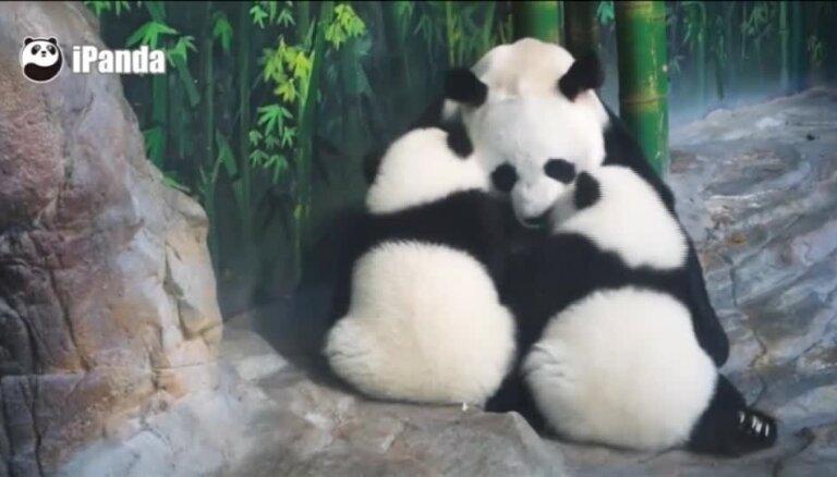 Video: Pasaulē vienīgie pandu trīnīši Ķīnā svinēs dzimšanas dienu
