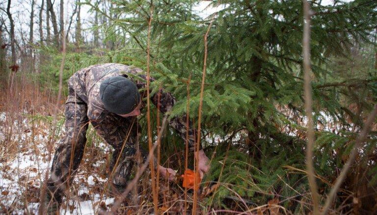 В этом году к Рождеству снова можно срубить елочку в государственных лесах