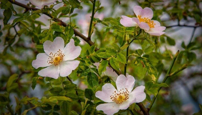 Pasaules vecākā roze, kas atgādina koku un aug jau 1000 gadus