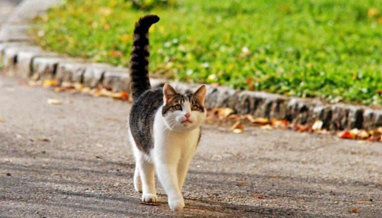 Minka brīvsolī: vai ļaut mājas kaķim iet ārā