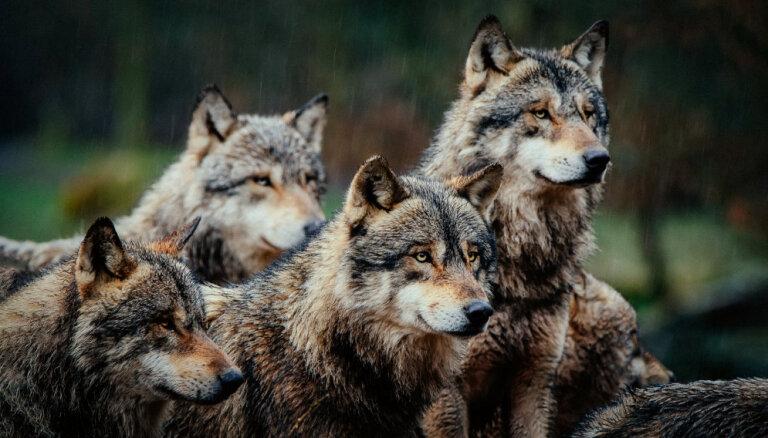 Dāvinātie vilki aizbēga. Latvija un Francija meklē vainīgos