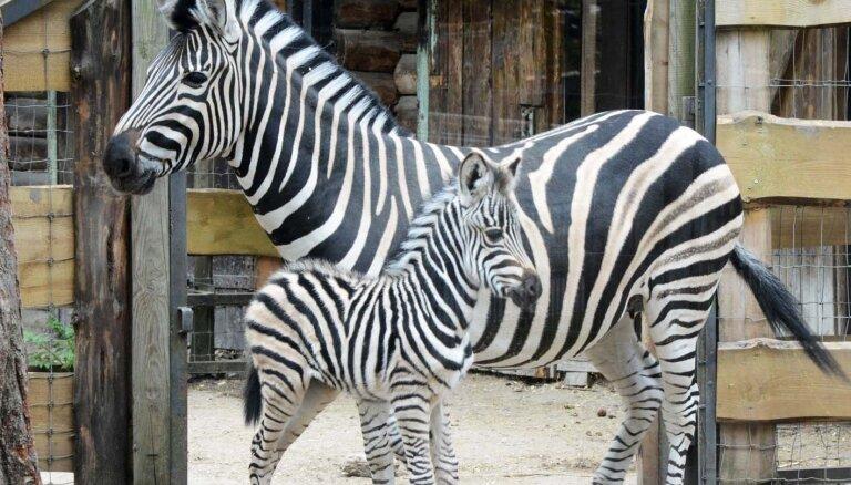 Pēc 9 gadu pārtraukuma Rīgas zoodārzā piedzimis zebrēns