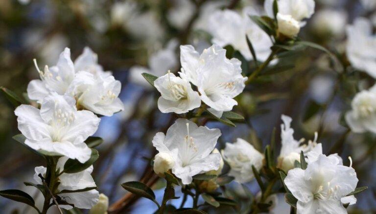 Foto: Audzētavā 'Babīte' krāšņi izplaukuši agri ziedošie rododendri