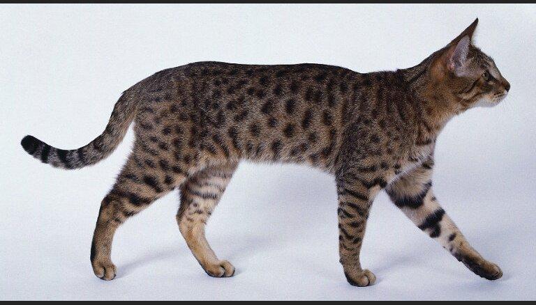 Kaķu šķirne: Kalifornijas leopardkaķis