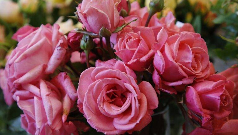 ФОТО: Королевские розы в Латвийском музее природы