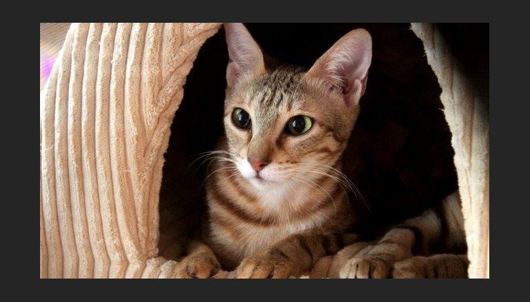 Kaķu šķirne: Sokokes kaķis
