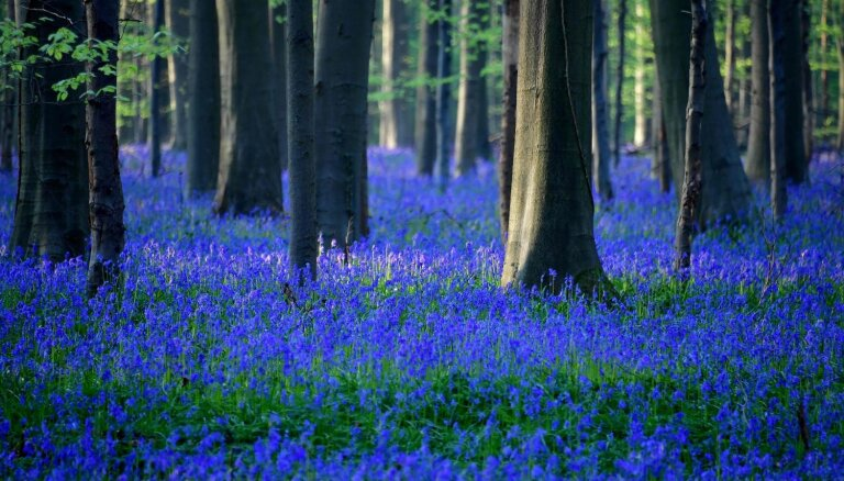 Kā ziedu upe: Beļģijā uzziedējis zilo pulkstenīšu mežs