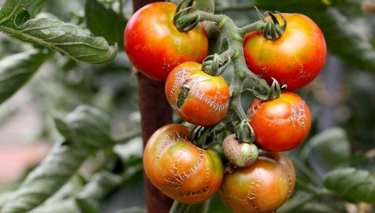 Rullējas lapas un parādījušies plankumi: izplatītākās vainas tomātiem