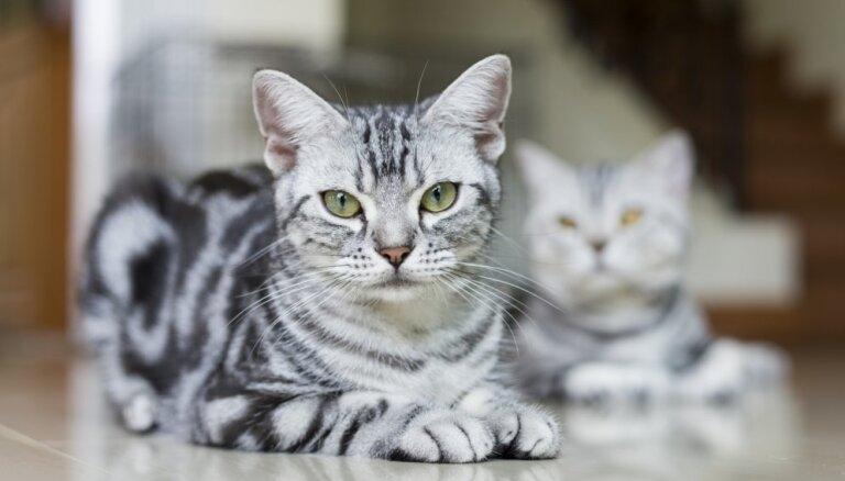 Astoņi gandrīz vienādi peļu junkuri, kurus atšķirs vien kaķu eksperts