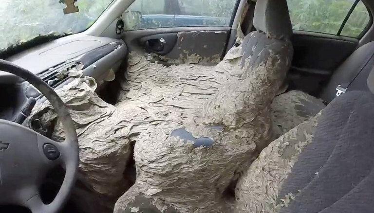 Video: Amerikānim automobiļa salonu lapsenes pārvērtušas par milzu pūzni