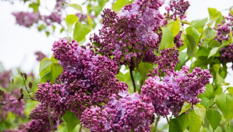 Foto: Ceriņu ziedēšanas burvība Dobelē