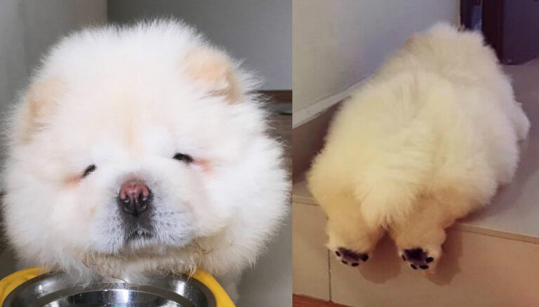 Tūļīgais šunelis Pafijs, kas mēneša laikā savaldzinājis tūkstošiem cilvēku