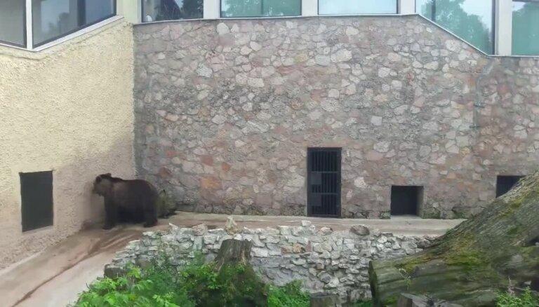 Aculiecinieks satraucies par lāča uzvedību; zoodārzā stāsta – tā ir uz mūžu