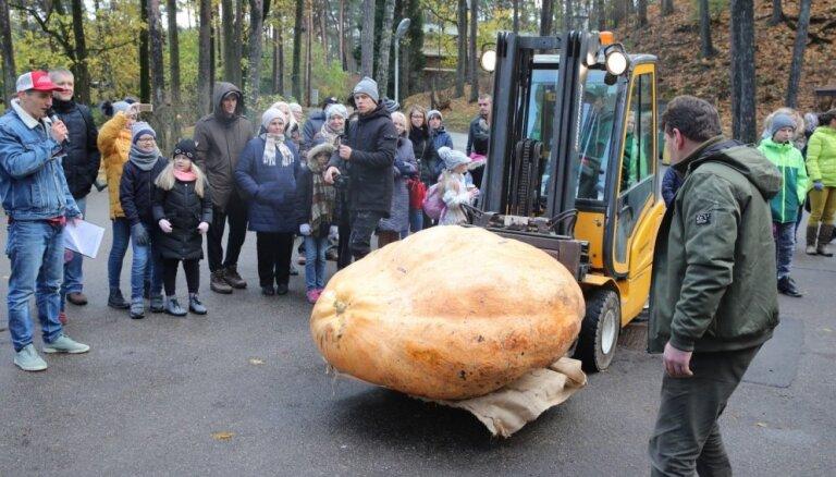 Foto: Jauns ķirbja rekords Latvijā – 574 kilogramus brangs milzenis